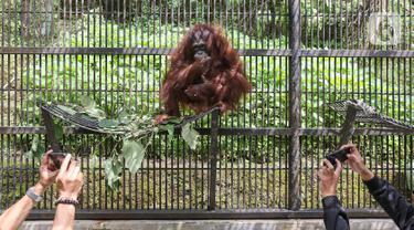 Fitri, Bayi Orangutan yang Lahir Pada Suasana Hari Raya Idul Fitri  di Taman Safari Indonesia.