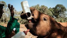 Seorang penjaga memberi susu bayi gajah  yatim piatu di panti asuhan gajah David Sheldrick Wildlife Trust (DSWT) di Nairobi, Kenya pada 12 Maret 2019. Panti ini mengasuh gajah muda hingga mereka dewasa sebelum dilepas ke alam liar. (Yasuyoshi CHIBA/AFP)