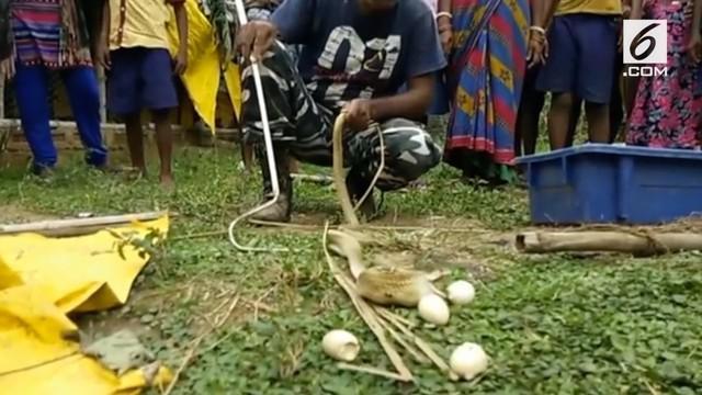 Dalam upaya melarikan diri usai ditangkap warga, ular king kobra langsung memuntahkan 7 telur ayam yang ditelannya.
