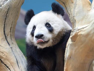 FOTO: Lucunya Panda Raksasa Penghuni Baru Kebun Binatang di Anshan