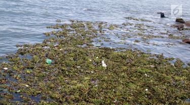 Tanaman eceng gondok memenuhi pantai Kelurahan Pohe, Gorontalo, Jumat (22/2). Tanaman ini berasal dari Danau Limboto yang terbawa arus sungai hingga ke Teluk Gorontalo dan memenuhi pinggiran pantai di desa-desa sekitar. (Liputan6.com/Arfandi Ibrahim)