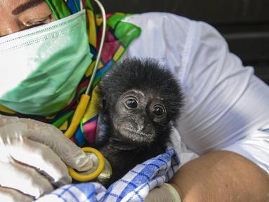 Dokter hewan memeriksa kondisi kesehatan bayi siamang (Symphalangus syndactylus) di kandang rehabilitasi BKSDA, Banda Aceh, Aceh, Kamis (13/9). Sejak 2014 BKSDA Aceh telah merawat lima bayi siamang yang diduga akan diperdagangkan (AFP/CHAIDEER MAHYUDDIN)