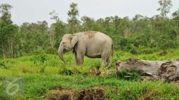 Gajah Sumatera sedang mencari makan di Sebokor, Ogan Komering Ilir, Sumatra Selatan, (25/3). Selain masuk daftar merah spesies yang terancam punah, Gajah Sumatra juga masuk dalam satwa dilindungi menurut UU No 5 Tahun 1990. (Liputan6.com/Gempur M Surya)