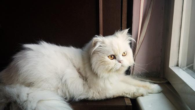 Cara Merawat Kucing Persia Yang Benar Agar Bulunya Tetap Indah Cocok Bagi Pemula Hot Liputan6 Com