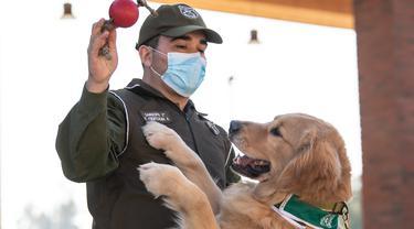 Anggota kepolisian Chile bermain dengan seekor anjing Golden Retriever bernama Clifford sebelum sesi latihan selama presentasi kepada pers di Santiago, Selasa (14/7/2020). Anjing itu dilatih untuk mendeteksi mereka yang mengidap covid-19 dengan mencium bau keringatnya. (Martin BERNETTI/AFP)