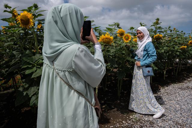 Seorang wanita Muslim berpose dengan bunga matahari di taman bunga matahari di Bagan Datuk, Malaysia (17/3/2021). Ratusan pengunjung datang ke taman ini setiap hari untuk foto dan menikmati aktivitas lain seperti memberi makan ikan dan itik yang terdapat di taman tersebut. (AFP/Mohd Rasfan)