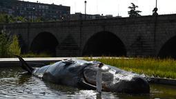 Seseorang berpakaian ilmuwan menuangkan air pada patung paus sperma berbahan fiberglass di sungai Manzanares, Madrid, 14 September 2018. Patung paus seukuran aslinya itu bertujuan membuat masyarakat sadar lingkungan. (AFP Photo/GABRIEL BOUYS)