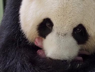 FOTO: Panda China yang Dipinjamkan ke Prancis Lahirkan Anak Kembar