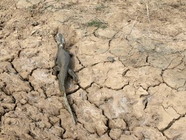 Seekor buaya terlihat di kubangan yang mengering karena tidak dialiri air dari sungai Pilcomayo, 24 Juni 2016. Perbatasan antara Paraguay dan Argentina tengah menghadapi kekeringan terburuk selama hampir dua dekade. (REUTERS/Jorge Adorno)
