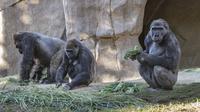 Aktivitas gorila di Taman Safari Kebun Binatang San Diego, California, Amerika Serikat (10/1/2021). Dua ekor gorila yang dilaporkan positif terinfeksi Covid-19 diyakini sebagai kasus pertama penularan virus terhadap kera yang diketahui. (Ken Bohn/San Diego Zoo Safari Park via AP)