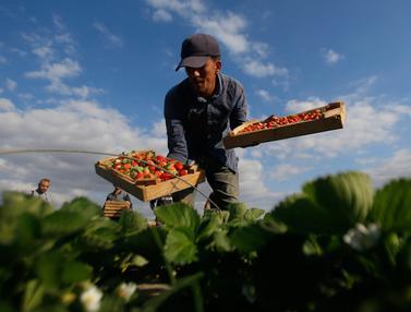Melihat Panen Stroberi di Jalur Gaza