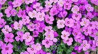 Kompetisi bunga. (Foto: pixabay)