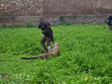 Seekor macan tutul menyerang pria India setelah ditemukan memasuki daerah perkampungan di Jalandhar, Kamis (31/1). Macan tutul yang ketakutan itu mengamuk dan menyerang warga dan mengakibatkan enam orang terluka. (AP Photo)