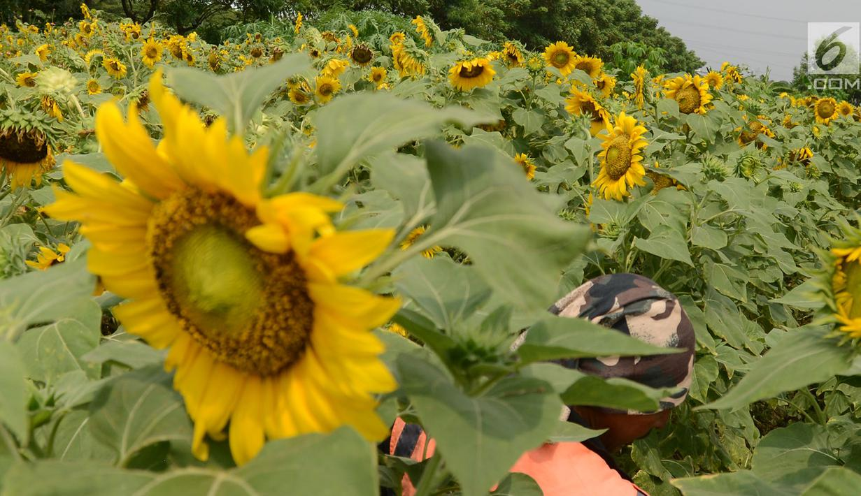 Foto Indahnya Bunga Matahari Yang Hiasi Sepanjang Jalan Bkt Cakung News Liputan6 Com