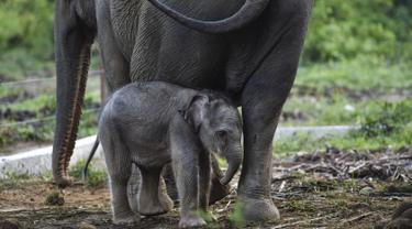 Bayi gajah sumatera yang baru lahir meminta ibunya bernama Suci (30 tahun) untuk menyusui di Unit Respons Konservasi Alue Kuyun di Meulaboh, provinsi Aceh (27/7/2019). Bayi gajah betina tersebut memiliki berat 70 kilogram, panjang 100 cm dan tinggi 90 cm. (AFP Photo/Chaideer Mahyuddin)