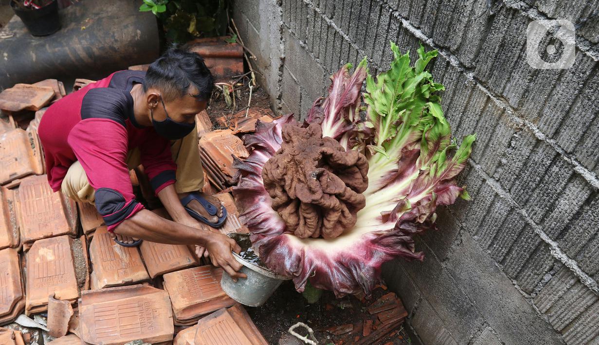 Seorang warga menyiram tanaman yang diduga jenis bunga bangkai di kawasan Cipete, Jakarta, Rabu (13/10/2021). Bunga yang tumbuh di pekarangan rumah warga itu mengeluarkan bau menyengat dan menjadi pusat perhatian warga sekitar. (Liputan6.com/Hermann Zakharia)