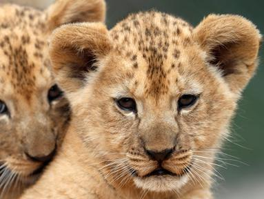 Dua bayi singa berber (Panthera leo leo) beristirahat di kandang mereka di kebun binatang Dvur Kralove, Republik Ceko, Senin (8/7/2019). Singa berber atau dikenal juga dengan nama singa atlas atau singa nubia, adalah subspesies dari singa yang telah punah di alam liar sekitar abad ke-20. (AP/Petr Da