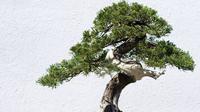 Ilustrasi bonsai. (iStockphoto)