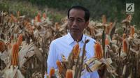 Presiden Joko Widodo (Jokowi) memanen dalam acara panen raya jagung di Desa Botuwombato, Kabupaten Gorontalo Utara, Jumat (1/3). Pada kesempatan itu, Jokowi menyempatkan diri untuk berdialog dengan beberapa petani jagung. (Liputan6.com/Arfandi Ibrahim)
