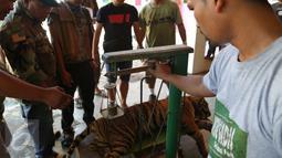 Tim dokter dari VESSWIC menimbang Harimau Sumatera yang terluka akibat terjerat jebakan rusa yang dipasang oleh warga, Mandailing Natal, Sumut, Sabtu (28/11/2015). (Foto:Ori Kakigunung)