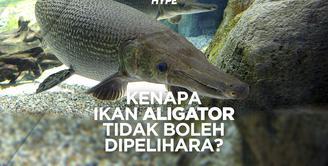 Berbahaya, Ikan Aligator Tidak Boleh Dipelihara