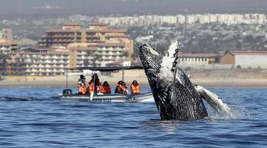 Wisatawan berada di atas perahu menonton paus bungkuk melompat dari air di perairan Samudera Pasifik di Los Cabos, Meksiko (14/3). Melihat atraksi paus bungkuk ini menjadi salah satu tujuan wisata di Meksiko. (AFP/Fernando Castillo)