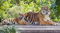 Gambar yang dirilis pada 29 Juli 2019, harimau Sumatera, Kartika dengan satu dari tiga anaknya yang berumur tujuh bulan, di Kebun Binatang Taronga, Sydney. Ada sekitar 380 harimau Sumatera di alam liar saat ini dan merupakan salah satu satwa yang terancam punah. (RICK STEVENS/ARONGA ZOO/AFP)