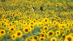 Pengunjung memakai masker sebagai pencegahan virus corona, berjalan melewati ladang bunga matahari saat istirahat makan siang di Paju, Korea Selatan, Kamis (1/7/2021).  Ratusan bunga matahari mekar di sebuah taman di Paju, Korea Selatan. Warga pun menikmati keindahannya. (AP Photo/Lee Jin-man)