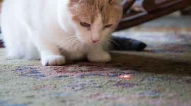 Capek tapi Diajak Main? Saatnya Jajal Permainan Laser Bareng Kucing Kesayangan