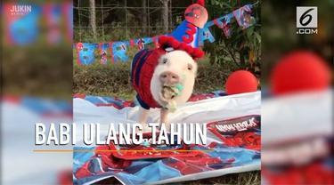 Babi imut bernama Pop ini merayakan pesta ulang tahun dengan tema Spider-Man.