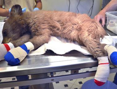 Kasihan, Bayi Beruang Ini Terluka Akibat Kebakaran Hutan di Colorado