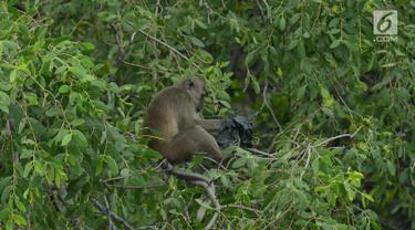 Melihat Monyet Ekor Panjang Mencari Makan di Hutan Mangrove Muara Angke