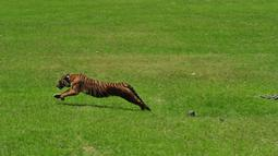 Seekor harimau Sumatera saat dilepasliarkan di hutan kawasan Tambling Wildlife Nature Conservation (TWNC), Lampung, Selasa (3/3/2015). TWNC melepasliarkan 2 harimau sumatera untuk meningkatkan populasi harimau yang mulai terancam punah. (Courtesy of TWNC)