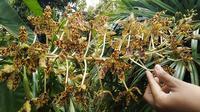 Anggrek macan (Grammatophyllum speciosum) yang mekar di Taman Sakat Lebung Panjang, Desa Jambi Tulo. (Liputan6.com / Gresi Plasmanto)