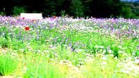 Festival Lavender di Goseong menyajikan pemandangan padang lavender yang indah.