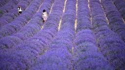 Dua wanita berjalan di ladang lavender di Sale San Giovanni, Cuneo, Italia, 29 Juni 2021. Bunga lavender bermekaran menyajikan pemandangan yang indah. (MARCO BERTORELLO/AFP)