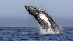 Seekor paus bungkuk melompat keluar dari air di perairan Samudera Pasifik di Los Cabos, Meksiko (14/3). Pada tahun 2017, bisnis pariwisata di Meksiko yang menghasilkan $ 21 miliar. (AFP/Fernando Castillo)