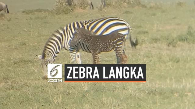 Seekor anak Zebra memiliki corak yang tidak biasa di Maasai Mara, Kenya. Zebra itu memiliki bulu gelap bercorak bintik-bintik putih.