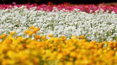 Bunga giant recolote ranunculus bermekaran di The Flower Field, Carlsbad Ranch, California, Kamis (21/3/2019). Memiliki luas sebesar 50 hektare, taman bunga ini dibuka setiap tahunnya pada musim semi. (REUTERS/Mike Blake)