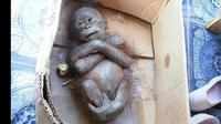 Dulu keadaan bayi orangutan yang beranama Gito ini sangat mengkhawatirkan, siapa pun pasti akan menitikan air mata jika melihat foto-fotonya. (Foto: International Animal Rescue)