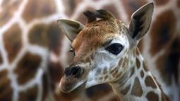 Bayi jerapah Rothschild berusia 5 hari terlihat bersama induknya di sebuah kebun binatang di Praha, Selasa (29/1). Jerapah jenis ini hidup di dua negara bagian Afrika, yaitu Kenya dan Uganda, dan sebagian besar hidup di Kenya. (Michal Cizek / AFP)