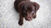 Ilustrasi anak anjing labrador. (Liputan6/Pixabay)