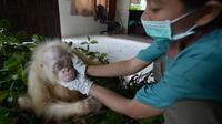 Penjaga memeriksa kondisi orangutan albino di sebuah pusat rehabilitasi di Nyaru Menteng, Kalimantan Tengah, Rabu (3/5). Orangutan ini akan menjadi simbol upaya penyelamatan spesies yang terancam punah. (AP/Indrayana/BOSF)