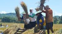Petani Banyumas dan Cilacap panen raya masa tanam kedua (MT 2) 2018 pada Juli dan Agustus lalu. (Liputan6.com/Muhamad Ridlo)
