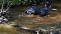 Seorang pawang memandikan gajah jantan Sumatra di sungai dekat Unit Respons Konservasi Alue Kuyun di Meulaboh, Aceh pada 27 Juli 2019. Gajah Sumatra yang masuk daftar merah salah satu spesies terancam punah ini diperkirakan hanya sekitar 500 ekor yang tersisa di Aceh. (CHAIDEER MAHYUDDIN/AFP)