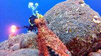 Seekor gurita direkam sedang penasaran melihat seorang penyelam dan mencoba mengamati penyelam itu dengan hati-hati.