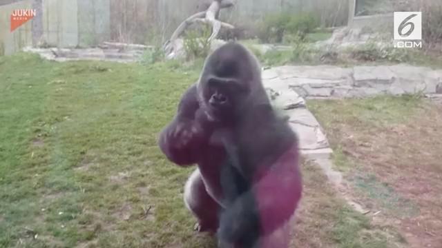 Seekor gorila mampu hancurkan kaca pengaman di sebuah kebun binatang dan membuat para pengunjung panik.