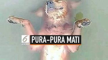 Seekor anjing mengejutkan warganet. Awalnya ia dikira telah tewas tenggelam di sebuah sungai. Namun ternyata, anjing tersebut hanya pura-pura.