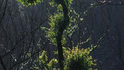 Pohon-pohon kembali bertunas setelah sempat terbakar hangus dalam kebakaran hutan di dekat Teluk Batemans, Australia, Jumat (27/2/2020). Kebakaran hutan di Australia dikaitkan dengan fenomena perubahan iklim karena pemanasan global. (Xinhua/Chu Chen)