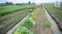 Petani sedang memanen sayuran segar berbagai jenis seperti Kangkung, Sawi dan bayem di Kelurahan Batusari,  Batuceper, Kota Tangerang,  Banten, Selasa (22/12/2020). Harga sayuran segar antara Rp 2000 ribu hingga Rp 3000 ribu per ikat. (merdeka.com/Dwi Narwoko)